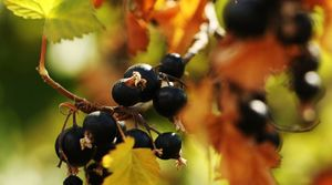 Blackcurrant berries have a