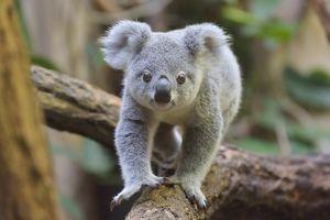 Brazen Koala Hopped Into a