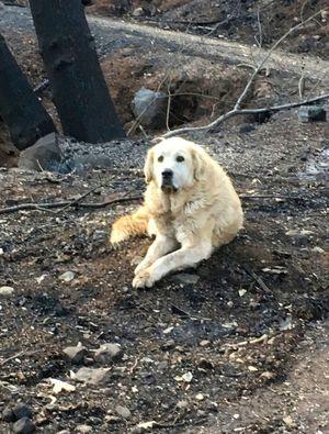 Dog survives Camp Fire, waits