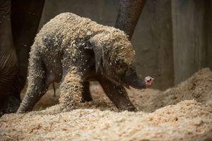 3-week-old baby elephant dies