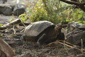 A Tortoise Species That Was