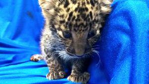 Leopard cub found in