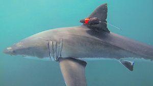 Shark cameras reveal secret