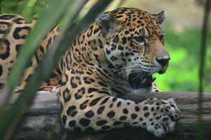 Jaguar attacks woman taking a