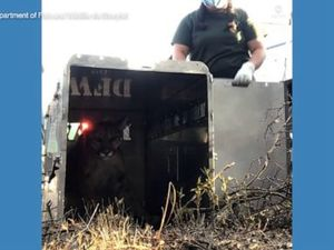 WATCH: Mountain lion released