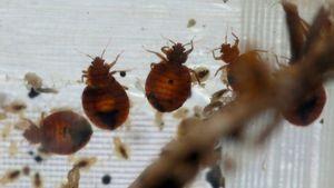 DIY Bed Bug Treatment Attempt