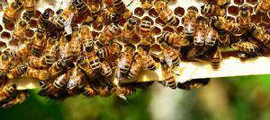 US lost 33% of bee colonies