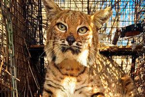 Bobcat that survived