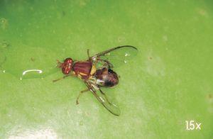 Queensland fruit fly puts New
