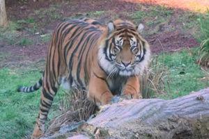 Tiger kills his potential mate