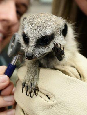 Stolen baby meerkat reunited