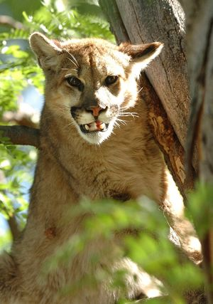 Mountain lion that attacked