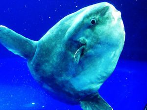 This giant sunfish species